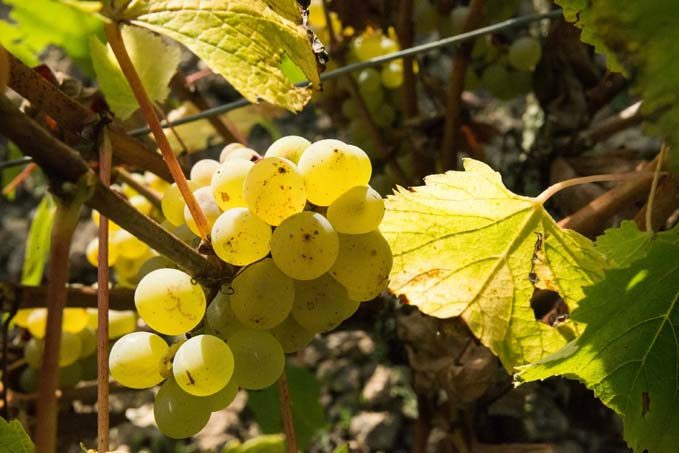 Une grappe de chenin © Laurence Mary